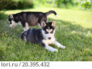 Купить «Two puppies husky sitting on the green grass», фото № 20395432, снято 5 июня 2014 г. (c) Losevsky Pavel / Фотобанк Лори