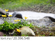 Купить «buttercup flowers between stones in the snowy mountains», фото № 20396548, снято 2 августа 2014 г. (c) Losevsky Pavel / Фотобанк Лори
