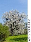 blooming trees in garden outdoor in spring countryside. Стоковое фото, фотограф juniart / easy Fotostock / Фотобанк Лори