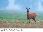 Купить «Roe-deer in the morning mist », фото № 20479348, снято 15 ноября 2018 г. (c) PantherMedia / Фотобанк Лори