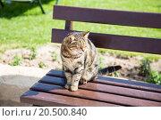 Купить «Кот на лавочке», эксклюзивное фото № 20500840, снято 7 апреля 2015 г. (c) Михаил Ворожцов / Фотобанк Лори