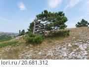 Дерево на горе Ай-Петри в Крыму с ветвями в одну сторону. Стоковое фото, фотограф Александр Лещинский / Фотобанк Лори