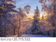 Высокие заснеженные деревья освещены солнцем. Стоковое фото, фотограф Олег Вдовин / Фотобанк Лори
