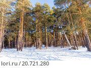 Купить «Зимний сосновый лес солнечным днем», фото № 20721280, снято 24 января 2015 г. (c) Евгений Ткачёв / Фотобанк Лори