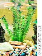 Купить «Водное растение роголистник (Ceratophyllum submersum)», фото № 20721552, снято 27 октября 2015 г. (c) Евгений Ткачёв / Фотобанк Лори