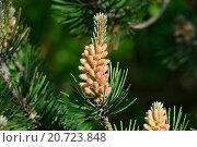 Купить «Сосна горная (лат. Pinus mugo). Хвоя и почки крупным планом», фото № 20723848, снято 21 января 2014 г. (c) Сергей Трофименко / Фотобанк Лори