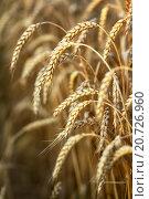 Купить «Золотые колоски зрелой пшеницы», фото № 20726960, снято 16 июля 2015 г. (c) Игорь Струков / Фотобанк Лори