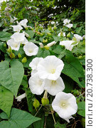 Купить «Hedge Bindweed, calystegia sepium, in full flower, England , August», фото № 20738300, снято 22 мая 2018 г. (c) age Fotostock / Фотобанк Лори