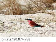 Купить «large nesting colony of Nothern Carmine Bee-eater», фото № 20874788, снято 21 сентября 2019 г. (c) PantherMedia / Фотобанк Лори
