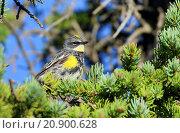 Купить «Yellow-rumped warbler (Dendroica coronata), male sits in a Douglas fir, Canada, Alberta, Banff National Park», фото № 20900628, снято 27 июля 2014 г. (c) age Fotostock / Фотобанк Лори