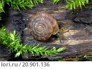 Купить «Rounded snail, Rotund disc snail, Radiated snail (Discus rotundatus, Goniodiscus rotundatus), crepping on wood», фото № 20901136, снято 16 марта 2015 г. (c) age Fotostock / Фотобанк Лори