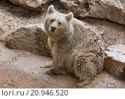 Syrian brown bear sitting. Стоковое фото, фотограф Наталья Волкова / Фотобанк Лори