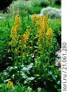 Купить «Siberian ligularia», фото № 21061280, снято 7 апреля 2019 г. (c) age Fotostock / Фотобанк Лори