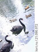 Лебеди черные. Стоковое фото, фотограф Анастасия Колганова / Фотобанк Лори