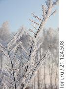 Ветки дерева в инее. Стоковое фото, фотограф Себелева Марина / Фотобанк Лори
