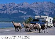 Купить «Bighorn Sheep on, Yellowhead Highway, Jasper, National Park, Alberta, Canada», фото № 21145252, снято 13 августа 2007 г. (c) age Fotostock / Фотобанк Лори