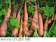 Морковка. Стоковое фото, фотограф Надежда Шапкина / Фотобанк Лори