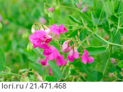 Купить «Душистый горошек (Lathyrus odoratus)», фото № 21471468, снято 17 июля 2014 г. (c) Надежда Нестерова / Фотобанк Лори