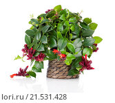 Купить «Lipstick Plant (Aeschynanthus radicans) in pot, isolated on white background», фото № 21531428, снято 14 апреля 2014 г. (c) easy Fotostock / Фотобанк Лори