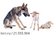 Купить «wolf and lambs in front of a white background», фото № 21555904, снято 14 мая 2013 г. (c) easy Fotostock / Фотобанк Лори