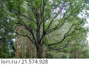 Раскидистые ветки зелёного дерева в лесу. Стоковое фото, фотограф Дарья Серебрякова / Фотобанк Лори