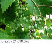 Зеленый виноград на лозе с листьями. Стоковое фото, фотограф IGOR KVASIUK / Фотобанк Лори