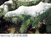 Купить «Заснеженные лапы голубой ели (лат. Picea pungens)», фото № 21618608, снято 23 января 2016 г. (c) Сергей Трофименко / Фотобанк Лори