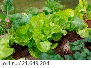 Купить «Cold frame with lettuce and kohlrabi», фото № 21649204, снято 21 ноября 2019 г. (c) easy Fotostock / Фотобанк Лори