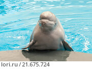 Белая белуха в дельфинарии. Стоковое фото, фотограф Сергей Носов / Фотобанк Лори