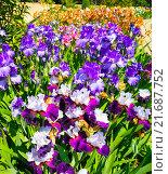 Купить «Цветущие ирисы в Никитском Ботаническом саду.Крым.», фото № 21687752, снято 24 мая 2015 г. (c) Алексей Маринченко / Фотобанк Лори