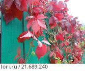 Красные листья на заборе. Стоковое фото, фотограф Юлия Каюнова / Фотобанк Лори