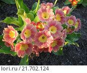 Купить «Примула ушковая - Primula auricula», фото № 21702124, снято 23 мая 2015 г. (c) Беляева Наталья / Фотобанк Лори