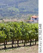 Кусты винограда. Стоковое фото, фотограф Анна Сапрыкина / Фотобанк Лори
