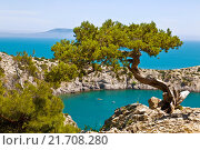 Купить «Alone pine tree growing on the slope of the mountain in the Crimea», фото № 21708280, снято 15 июня 2015 г. (c) Наталья Волкова / Фотобанк Лори