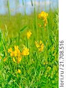 Купить «Душистый горошек», фото № 21708516, снято 21 июня 2013 г. (c) Надежда Нестерова / Фотобанк Лори