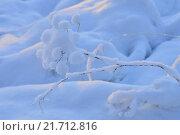 Дикая природа растения  под снегом морозным зимним утром. Стоковое фото, фотограф Сергей Кудрявцев / Фотобанк Лори