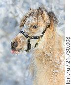 Лошадь Американской миниатюрной породы показывает язык. Стоковое фото, фотограф Абрамова Ксения / Фотобанк Лори