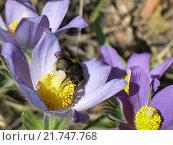 Шмель на цветке прострела в лесу. Стоковое фото, фотограф Эльвира Рубан / Фотобанк Лори
