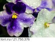 Цветы фиалки в каплях воды. Стоковое фото, фотограф Роман Ушаков / Фотобанк Лори