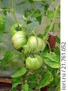 Купить «Растущие зелёные помидоры в парнике, подвязанные к палочке», фото № 21761052, снято 26 июля 2015 г. (c) Максим Мицун / Фотобанк Лори