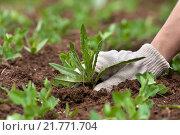 Купить «Ручная прополка в огороде крупным планом», фото № 21771704, снято 25 мая 2015 г. (c) Павел Родимов / Фотобанк Лори