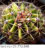 Купить «Эхинопсис маммиллоза (Echinopsis mamillosa)», эксклюзивное фото № 21772848, снято 21 октября 2018 г. (c) Анна Мартынова / Фотобанк Лори