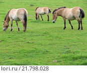 Купить «The Przewalski horse, also Takhi, Asian wild horse or Mongolian wild horse called, is the only subspecies of the wild horse which has survived in her wild form till this day.», фото № 21798028, снято 22 октября 2018 г. (c) PantherMedia / Фотобанк Лори