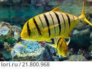 Золотой каранкс (Gnathanodon speciosus) Стоковое фото, фотограф Сергей Гусев / Фотобанк Лори