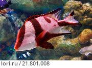 Красная полосатая морская рыба. Стоковое фото, фотограф Сергей Гусев / Фотобанк Лори