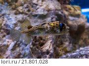 Шипастый иглобрюх - рыба-еж (Diodon holocanthus) Стоковое фото, фотограф Сергей Гусев / Фотобанк Лори
