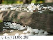 Купить «Опавшие цветы вишни на деревянных ступенях», фото № 21806288, снято 8 мая 2008 г. (c) Наталья Окорокова / Фотобанк Лори