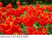 Цветы. Фон. Тюльпаны. Стоковое фото, фотограф Лощенов Владимир / Фотобанк Лори
