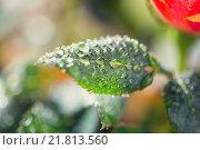 Купить «close up of rose flower», фото № 21813560, снято 3 марта 2015 г. (c) Syda Productions / Фотобанк Лори