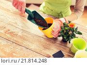 Купить «close up of woman hands planting roses in pot», фото № 21814248, снято 3 марта 2015 г. (c) Syda Productions / Фотобанк Лори